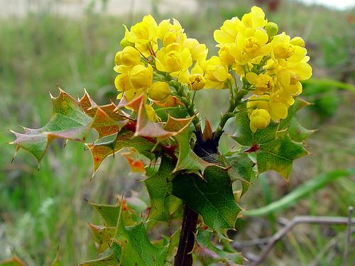 Berberys Kalifornia Pinnata zdjęcie