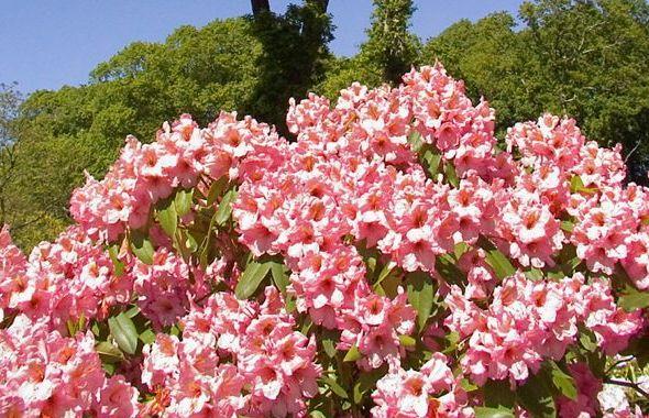 Rododendron, różanecznik